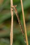 ein heranreifendes Männchen der Gemeinen Winterlibelle