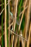 Kopula mit einem jungen, noch nicht ausgefärbten Weibchen