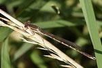 ein ausgereiftes Männchen der Gemeinen Winterlibelle