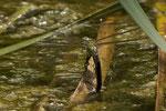 sie sticht die Eier in Halme im Wasser ein