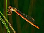 Weibchen Forma intermedium – äußerst selten