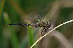 Die Herbst-Mosaikjungfer ist die einzige Edellibelle, die diese Haltung einnehmen kann zum Ausruhe. Dies machen ansonsten nur die Segellibellen.