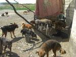 Hunde im alten Casa Canelui in Timisoara