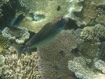Nasendoktorfisch