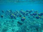 Weißkehl-Doktorfischschwarm