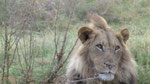 Lone Lion, with injured groin, Botswana, 2010