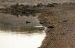 Austernfischer (Foto: Agnes Schulz)
