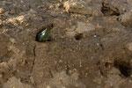 Bienenfresser von hinten beim Graben (Foto: René Pittner)