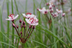 Schwanenblume an der Elbe (Agnes Schulz)