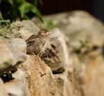 Haussperling Jungvogel (Foto: René Pittner)