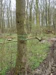 Markierter Höhlenbaum