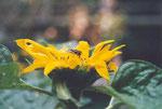 Schwebfliege auf Sonnenblume (Foto: Gudrun Edner)