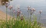 Schwanenblumen an der Elbe (Agnes Schulz)