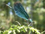 Blauflügel-Prachtlibelle Weibchen (Foto: Marcel Majchrzak)