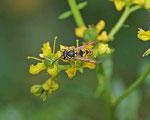 Gemeine Wespe (Foto. Agnes Schulz)