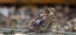 Haussperling mit Jungvogel (Foto: René Pittner)