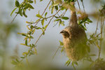 Beutelmeise am Nest (Foto: René Pittner)