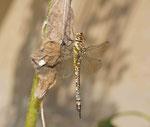 Herbst-Mosaikjungfer Weibchen (Foto: Agnes Schulz)