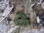 Das Nest eines Zaunkönigs (Foto: Christa Schmidt)