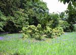 大田神社の杜若