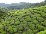 Tea plantations, one useful fact: do not use tea bags if you can help it! Fresh tea leaves SO much better!