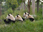 well behaved Pandas having a bamboo breakfast at the Chengdu Panda Conservation Centre