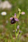 Hufeisen-Ragwurz (Ophrys ferrum-equinum)