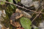 Aspisviper, neugeborenes Weibchen