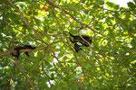 Mantelbrüllaffen (Alouatta palliata), Parque Nacional Cahuita