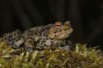 Erdkröte (Bufo b. bufo), Männchen