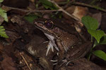 Bolivianischer Ochsenfrosch (Leptodactylus bolivianus)