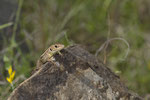 Riesensmaragdeidechse (Lacerta trilineata major), Jungtier