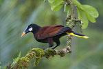 Montezuma-Stirnvogel (Oropendola, Psarocolius montezuma)