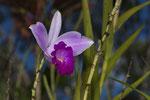 Bambusorchidee (Arundina graminifolia)