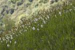 Narzissen (Narcissus poeticus) im Ticino