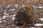 Wisent oder Europäische Bison (Bos bonasus), Tierpark Dählhölzli, Bern