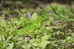 Junger Grüner Leguan (Iguana i. iguana)