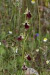 Helenes Ragwurz (Ophrys helenae)