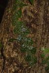 Kletterpflanze im Regenwald (und da hat's geregnet...)