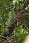 Gut getarnter Stirnlappenbasilisk (Basiliscus plumifrons), Männchen