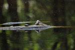 Europäische Sumpfschildkröte (Emys orbicularis hellenica), letztjährige Jungtiere