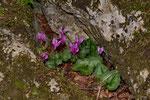 Alpenveilchen (Cyclamen hederifolium)