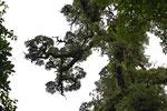 Epiphytenbewachsener Baum, Reserva Santa Elena, Monteverde