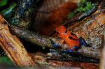 Erdbeerfröschchen (Oophaga pumilio), Weibchen beim Kaulquappentransport