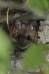 Waldmaus (Apodemus sylvaticus)