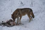 Wolf (Canis lupus), Tierpark La Garenne, Le Vaud