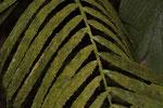 Selbst auf Palmwedeln wachsen Moose