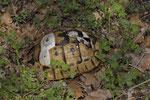 Panzer einer maurischen Landschildkröte (Testudo g. ibera)