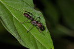 24-Stunden-Ameise oder Bala (Paraponera clavata)