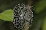 Spinne (Argiope savignyi) in ihrem kunstvoll gewobenen Netz